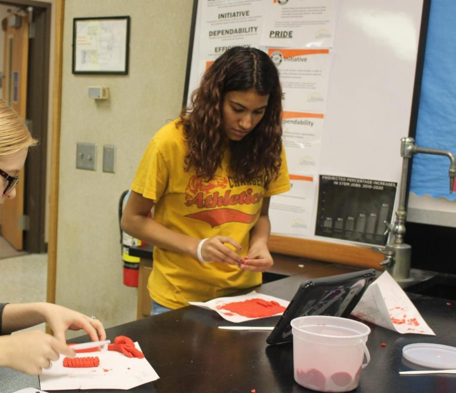 Sophomore Makayla Puckett works on forming a epithelium tissue made out of clay on Monday, Nov. 4.