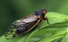 Cicadas: What The Buzz?